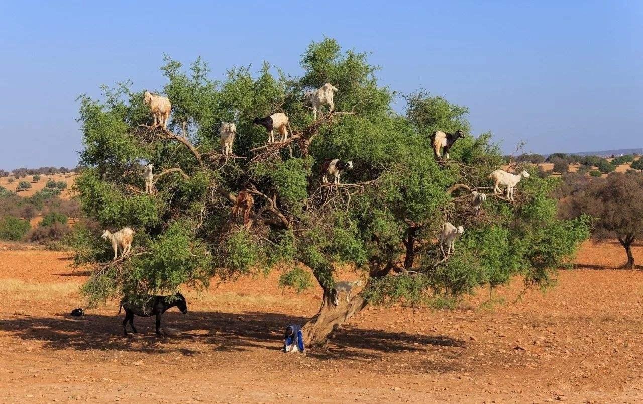世界上最神奇的山羊,能轻松上树玩 杂耍 ,还会帮忙生产阿甘油