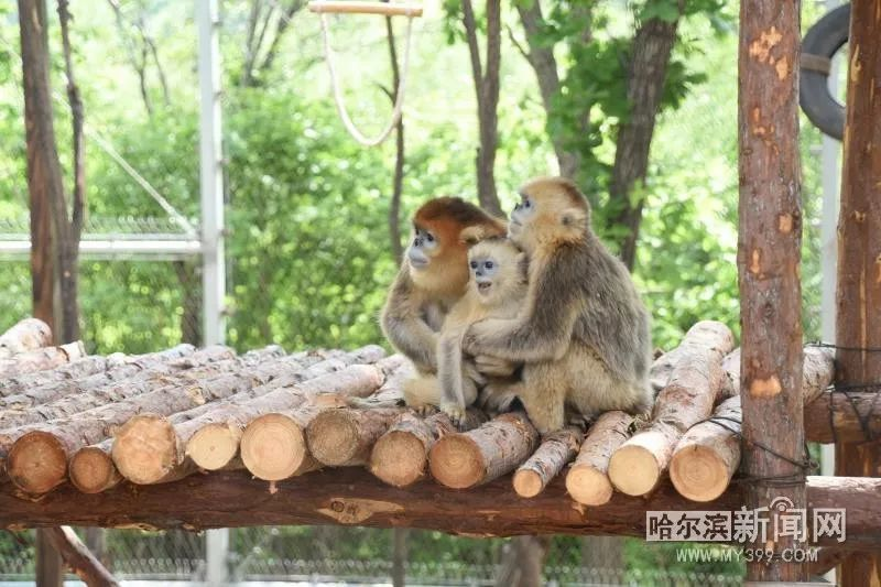 南北通婚成就兩對好姻緣丨動物園為金絲猴招上門女婿