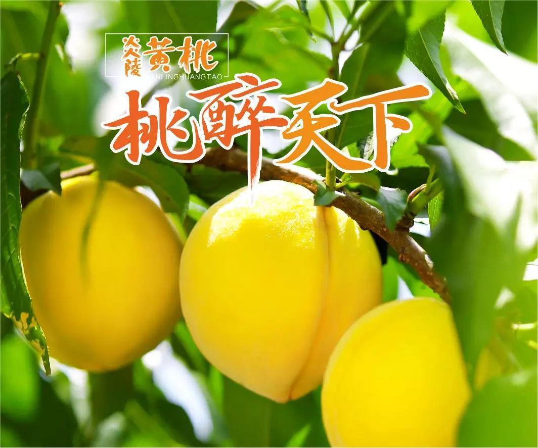 本站推荐:炎陵黄桃,炎陵锦绣黄�]那么容易桃―位于湖南炎陵县,高山黄桃绿而他色健康!