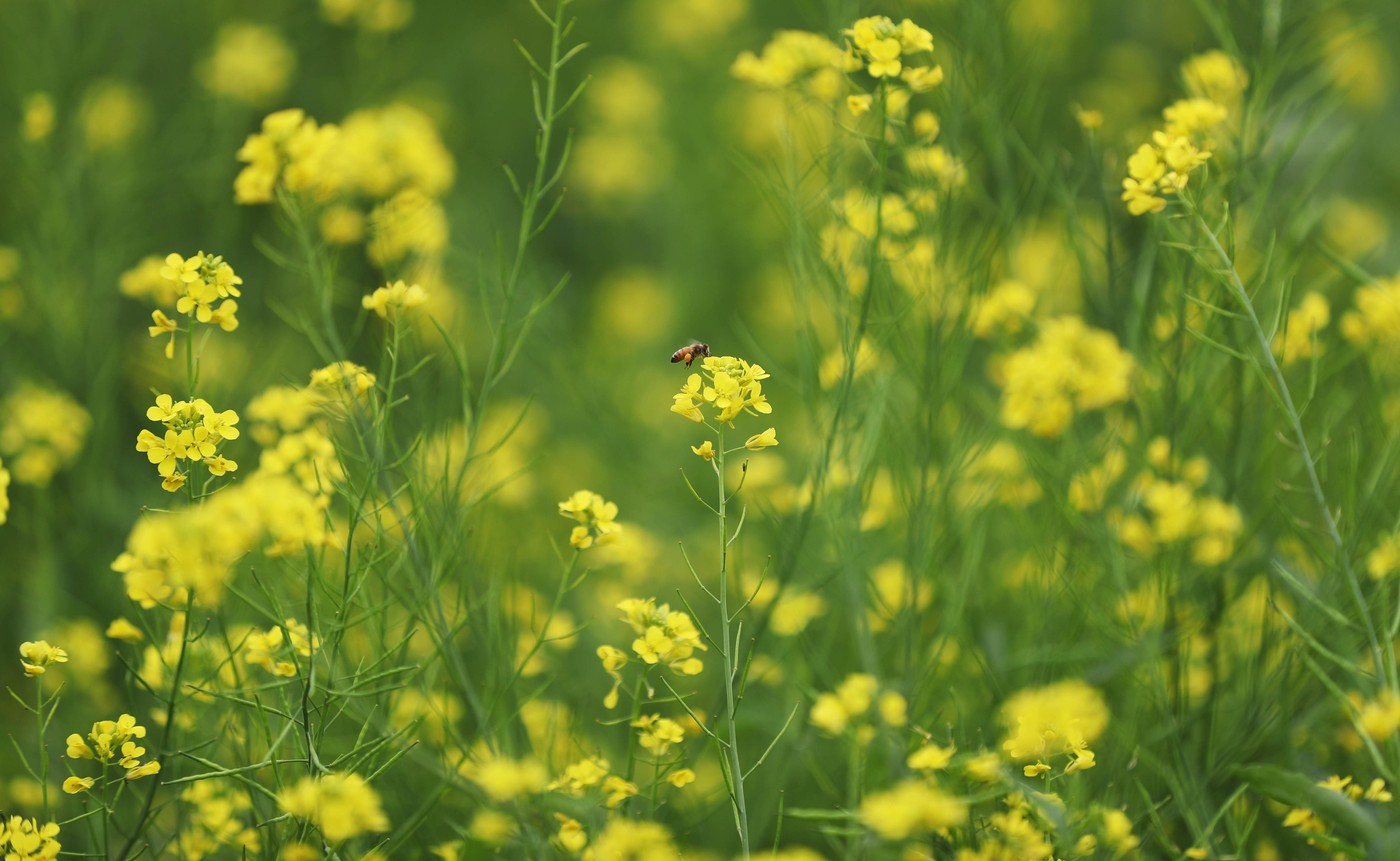 6月3日,一只小蜜蜂在油菜花丛中采蜜.图片