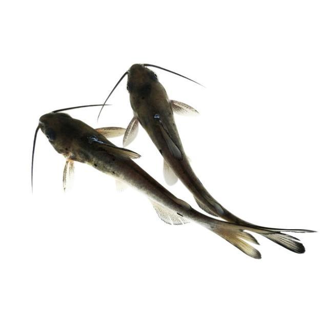 人工养殖鳗鱼技术_用池养殖鳗鱼技术_草鱼锚头鳋病怎样治疗