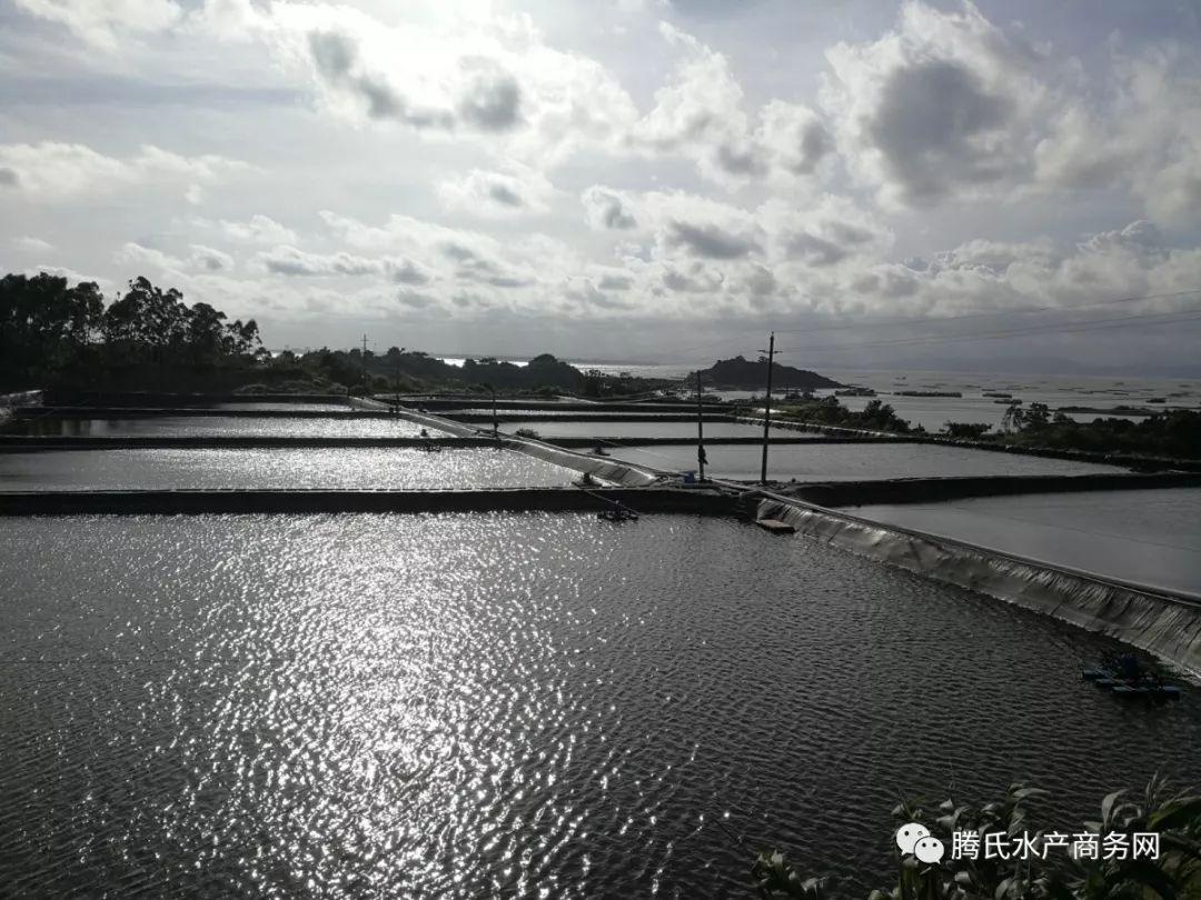 虾价狂跌超10元,主产区病害肆虐,局部排塘高达7成,华南早造虾遭受重创 养殖