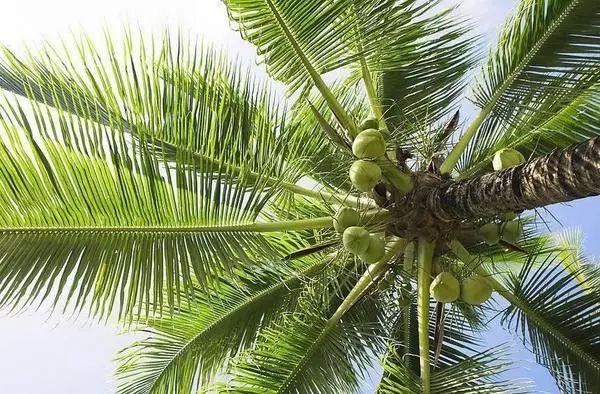 由于椰子树叶的质地相对会硬一些,所以用包出来的就是这个样子的,没吃