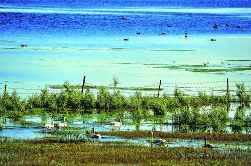 生态湿地天鹅游憩