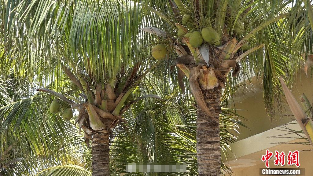 1/ 12 在三沙中建岛,每有新战士入营,便会在岛上种下一棵椰子树作为
