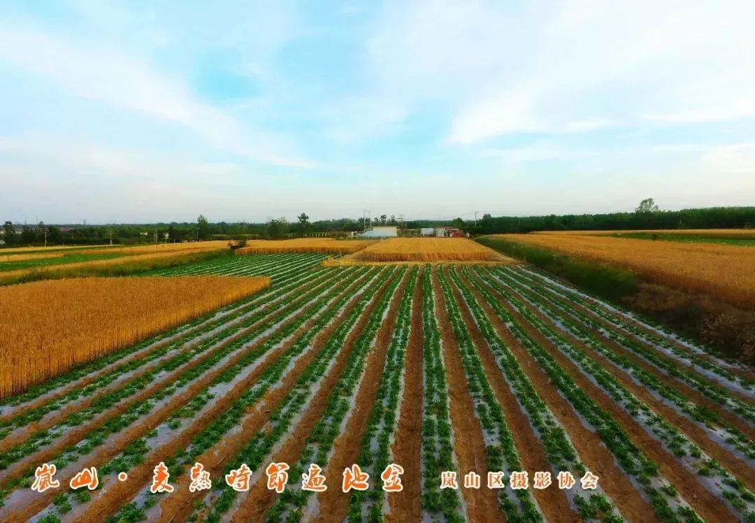 每日一景 | 岚山麦熟时节的记忆,你还记得多少?_麦穗