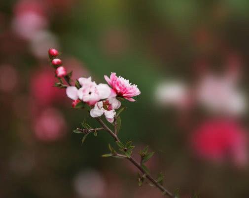 松红梅叶子干枯图片