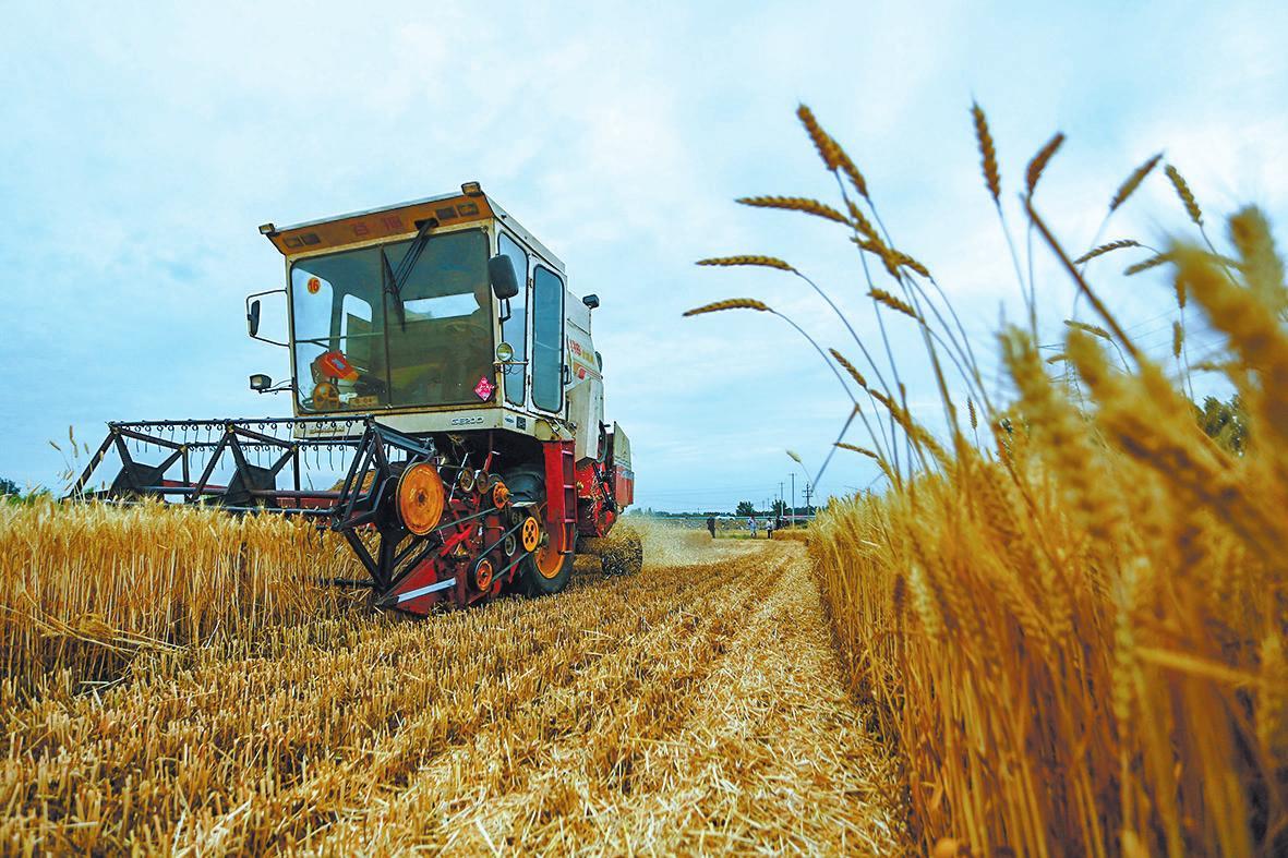 小麥收割需要注意什么?