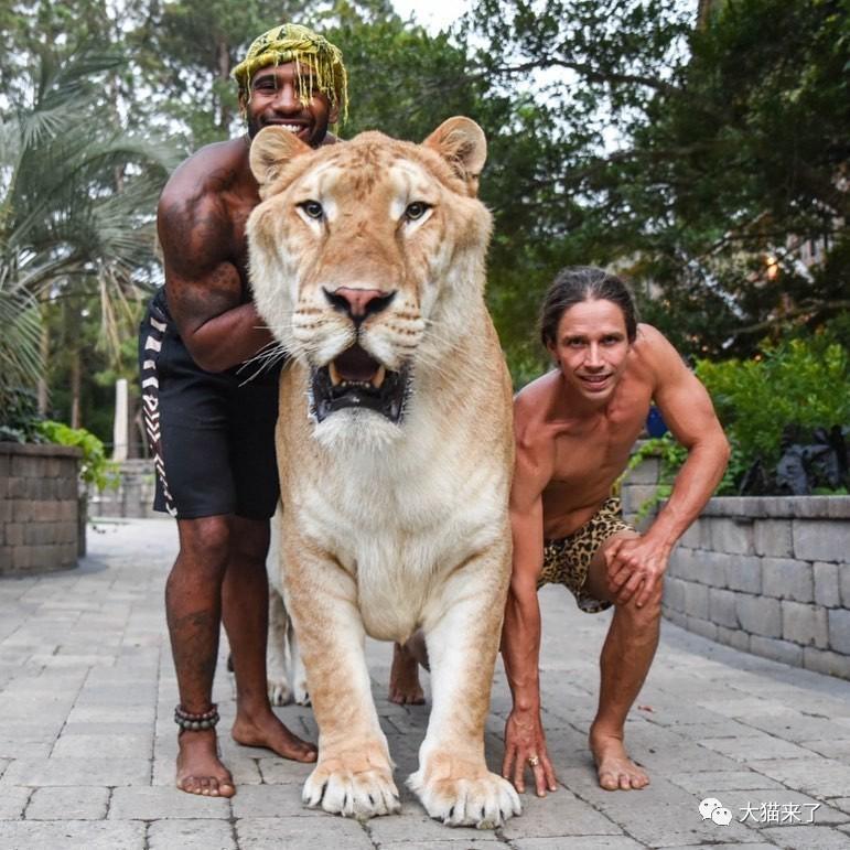 狮虎兽和虎狮兽谁大_把319千克重的狮虎兽当宠物,美国男子压力很大:它什么都吃 ...