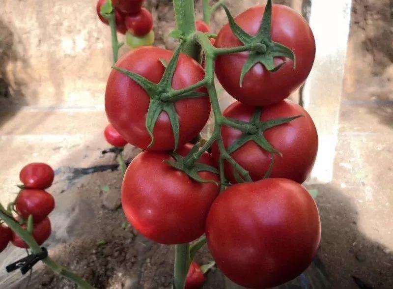 露穴�_【和润农业】2019年番茄越冬新品种推介