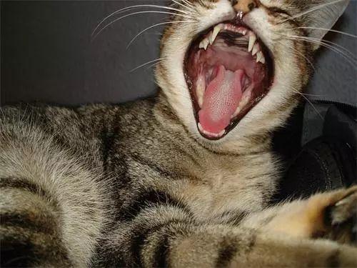 猫咪牙结石咋治图片