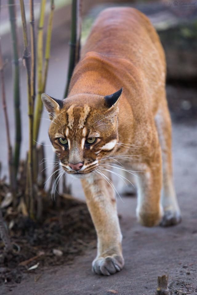 亚洲金猫_原创印度科学家拍摄到6种不同颜色的亚洲金猫,由伪装引发的颜色变异