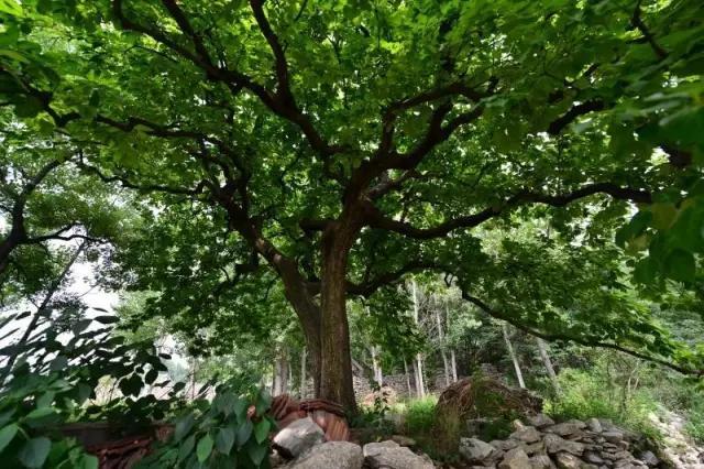 春天里,滕州那些站立千年的古树还挺励志(图9)