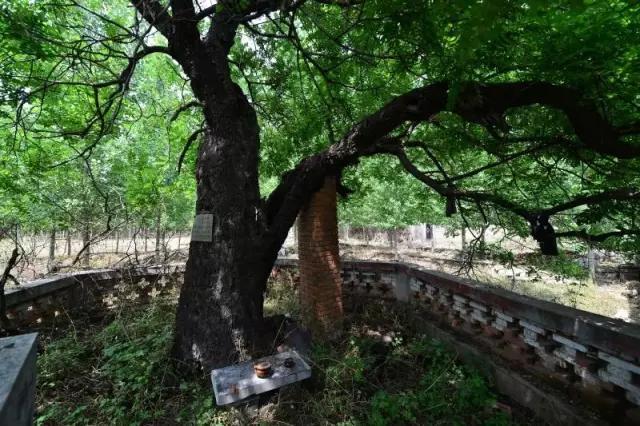 春天里,滕州那些站立千年的古树还挺励志(图7)