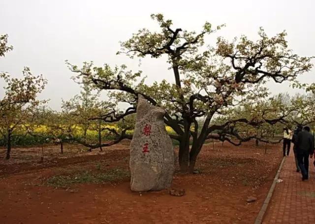 春天里,滕州那些站立千年的古树还挺励志(图10)