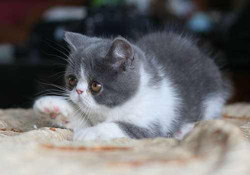猫咪应激反应拉肚子图片
