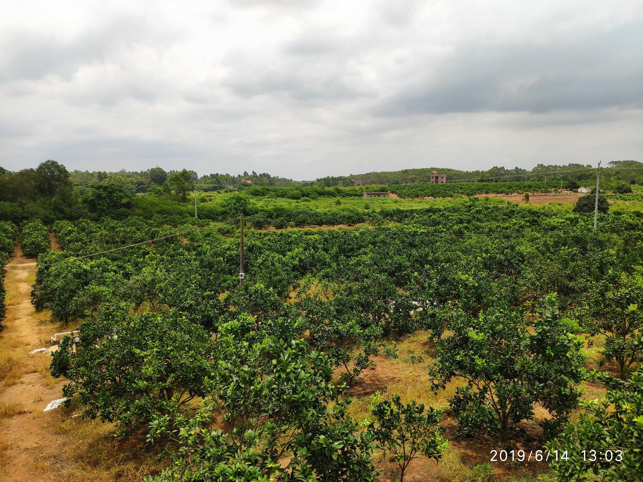 2019六月中旬:正宗红江橙已经进入最佳成长期,跟着小编脚步一起欣赏下图片