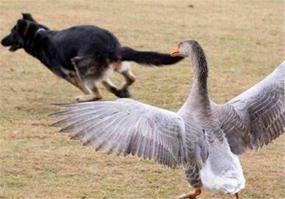 秦岭驴友发现黄鼠狼猎杀野兔,这东西最怕大白鹅,打个屁臭死人