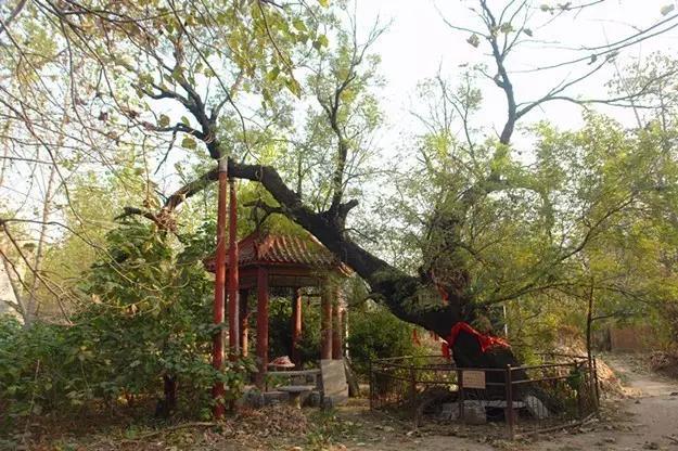 春天里,滕州那些站立千年的古树还挺励志(图1)
