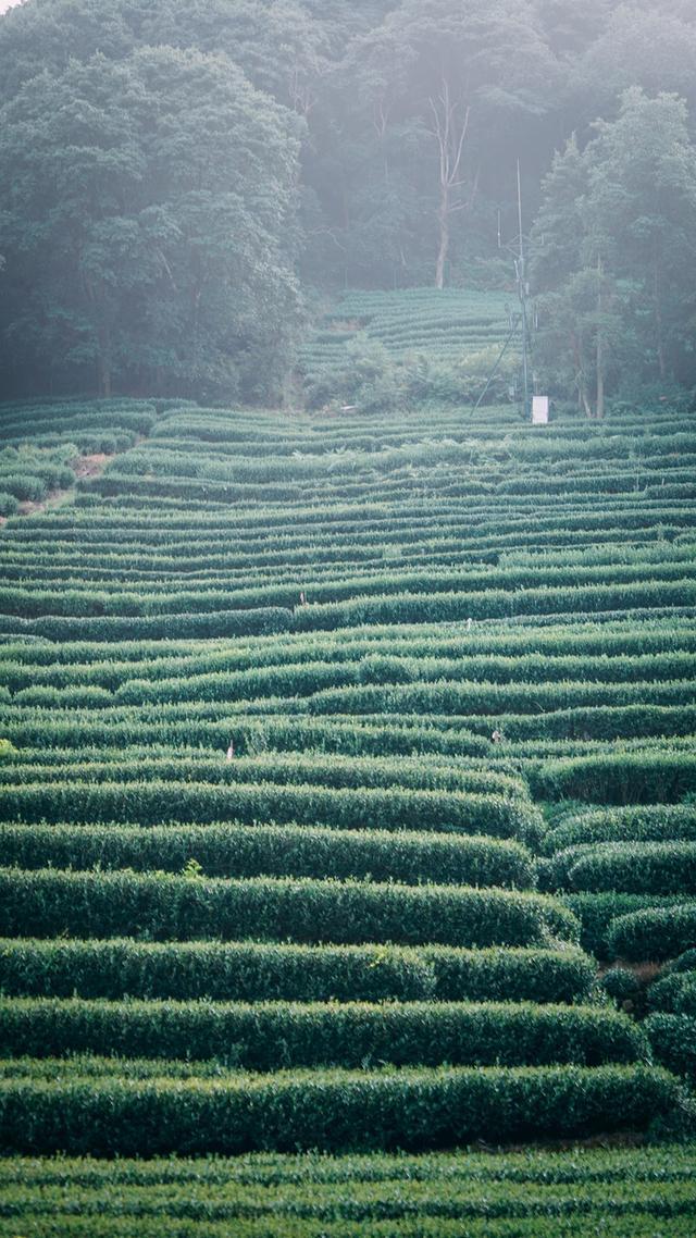 龙井不仅只在龙井村梅家坞的茶园依然很美