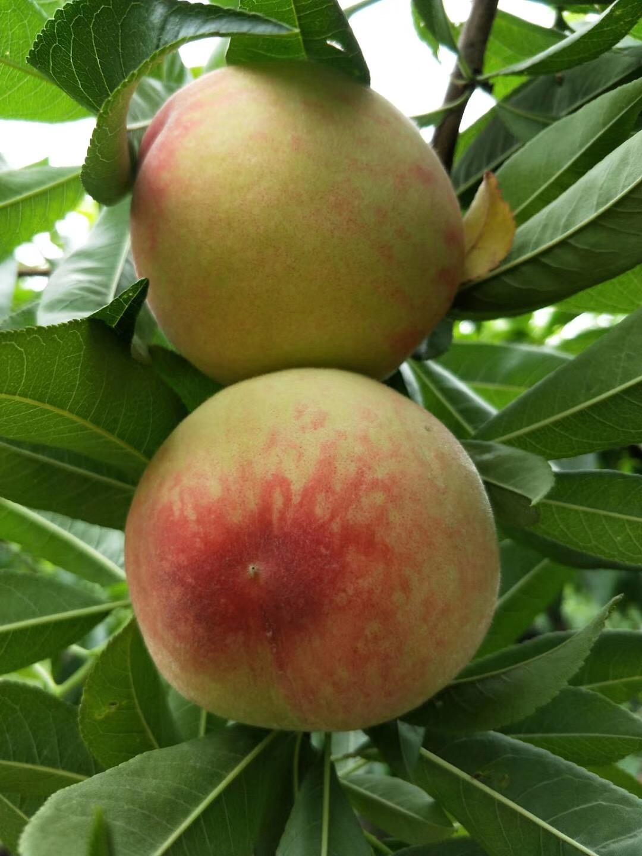 胭脂脆桃苗批发,南方种植早熟桃苗有优势!提前上市卖高价