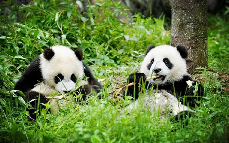 招募 熊猫饲养员 可爱也是一种软实力,快来为可爱充值