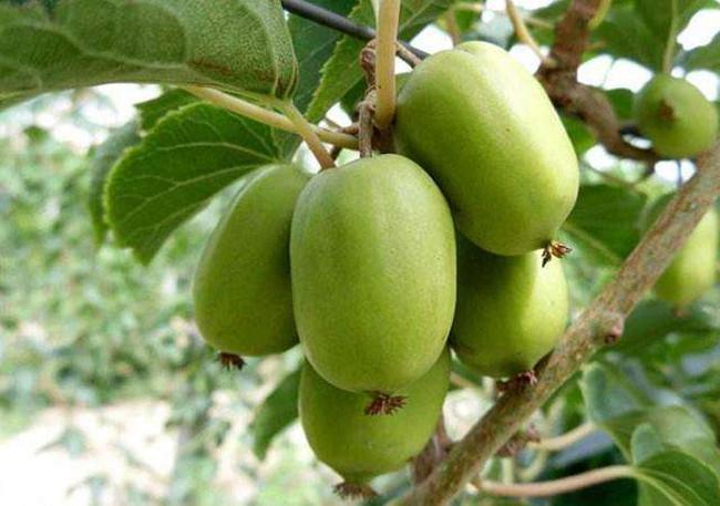 农民种植它像枣却不是枣,一斤30元,年赚几十万 大枣多少一斤