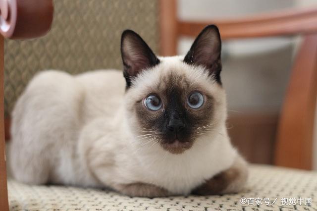 最便宜的猫咪又粘人品种图片