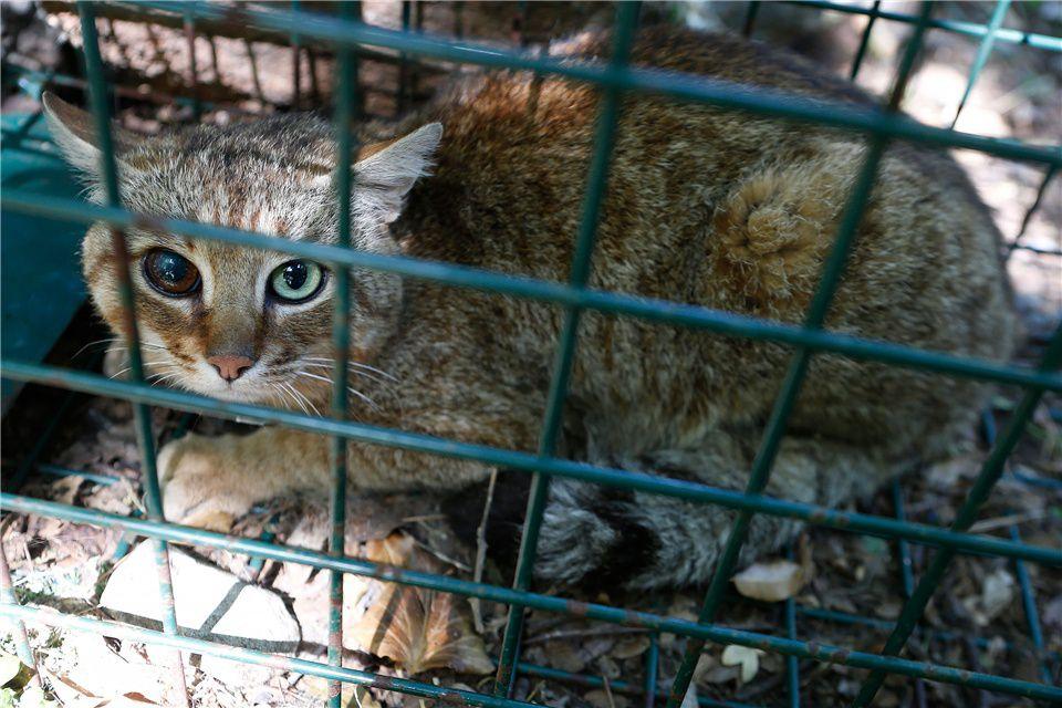 原创 橘猫?不!法国最新发现物种:狐猫,疑似狐狸和猫杂交产物