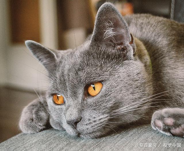 温顺粘人的猫咪品种图片