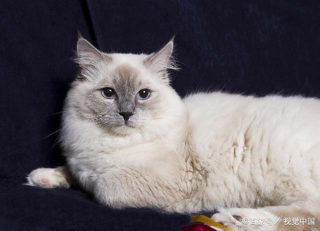 最粘人的猫咪品种图片