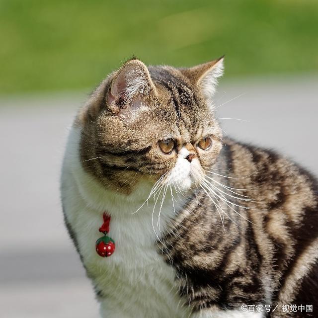 超级粘人的猫咪品种图片