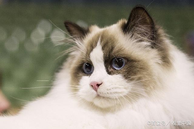比较粘人的猫咪品种图片