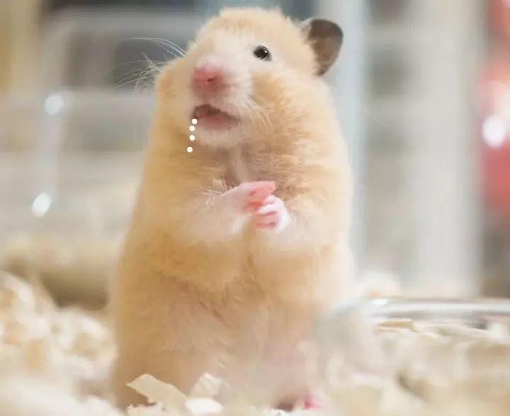 等零食的萌仓鼠 仓鼠零食怎么做