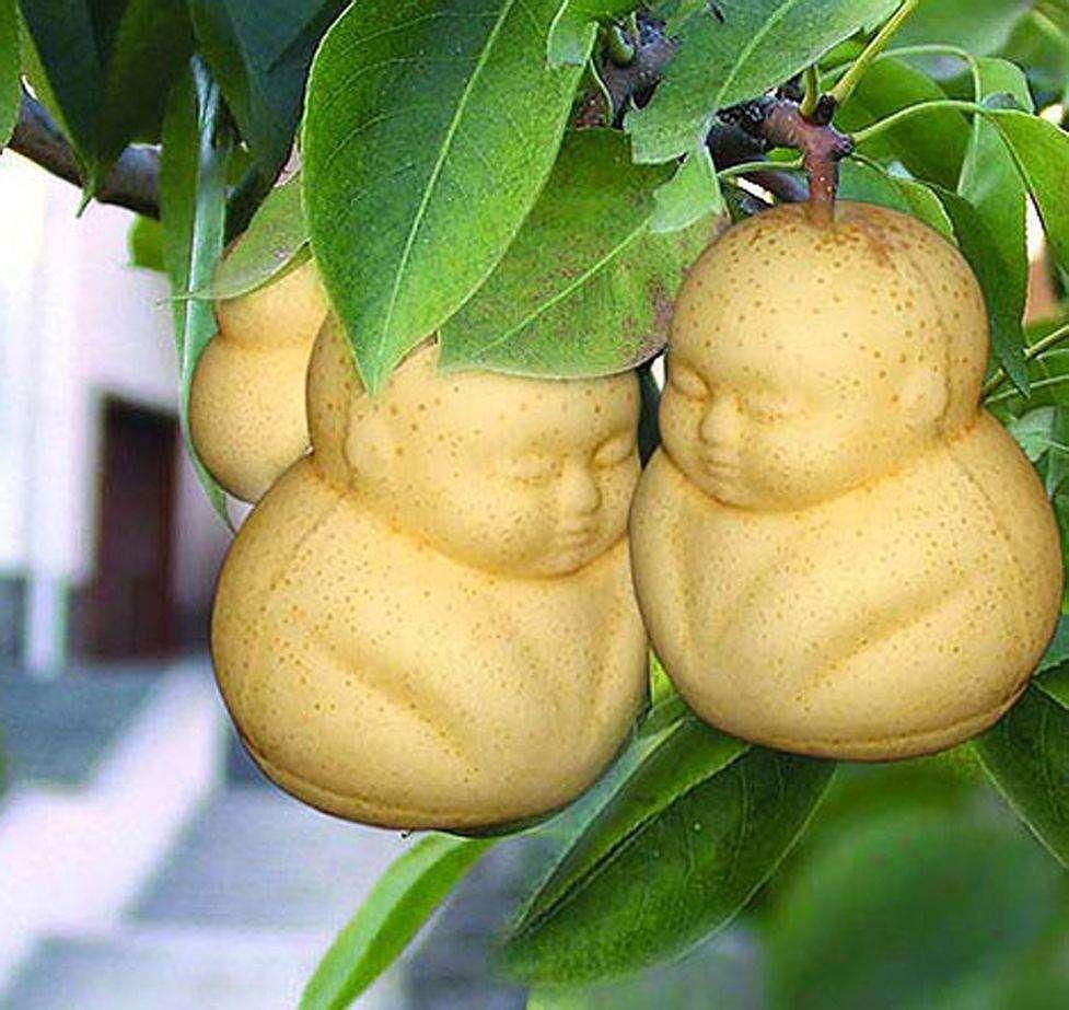 【树上结的胖娃娃是啥?原来是这种果子,怪不得土地公都想吃!】 一个胖娃娃