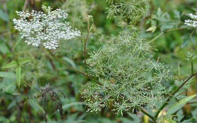 农村野草 [农村一种野草,生活中经常用到,是重要药材,一斤40元供不应求]
