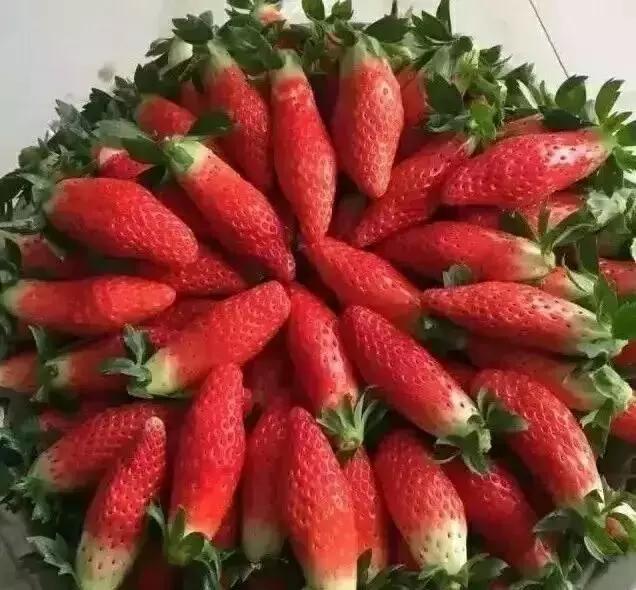 """草莓和胡萝卜能一起吃吗_这种水果样子""""稀奇"""",又像胡萝卜又像草莓,你吃过没?"""