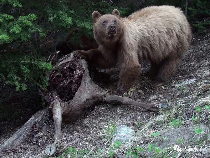 美洲狮有天敌吗?有两种动物可以轻易杀死它,但更喜欢抢它的猎物
