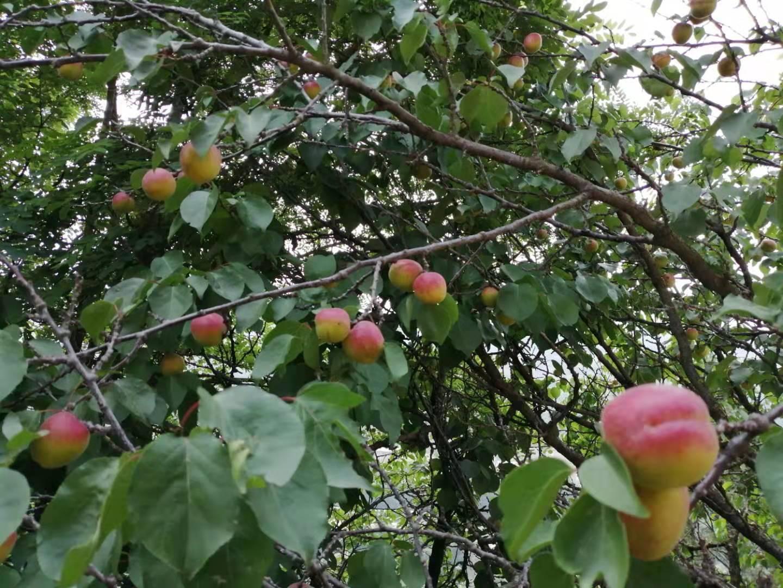 家乡的杏子熟了....