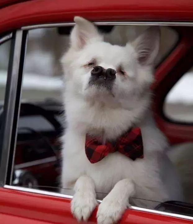 失明狗狗长了两个大鼻孔,独特外表让它声名远扬,乐观始终陪伴它