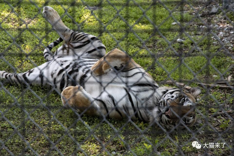 """""""老虎瑜伽""""成为时髦,老虎:放我出围栏,体验更刺激"""