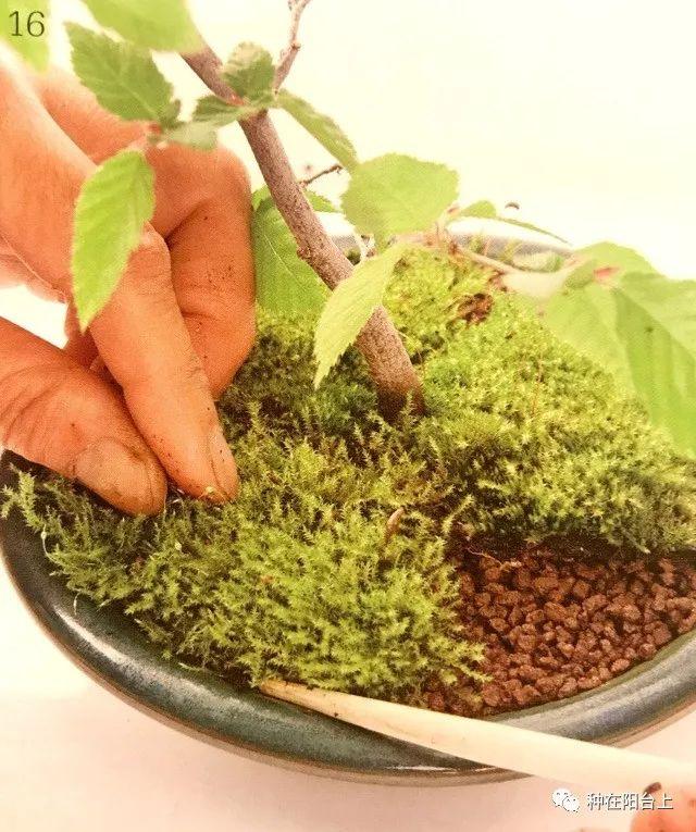将从花盆边缘冒出来的苔藓压进花盆内.