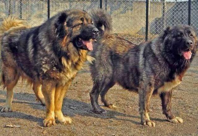 很适合女生养的狗,有它们在身边就像雇个保镖,没人敢欺负你
