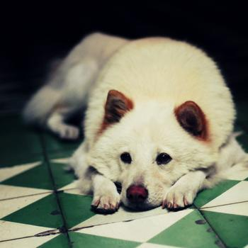 狗狗可以喝羊奶粉嗎?幼犬喝寵物羊奶粉有什么好處?