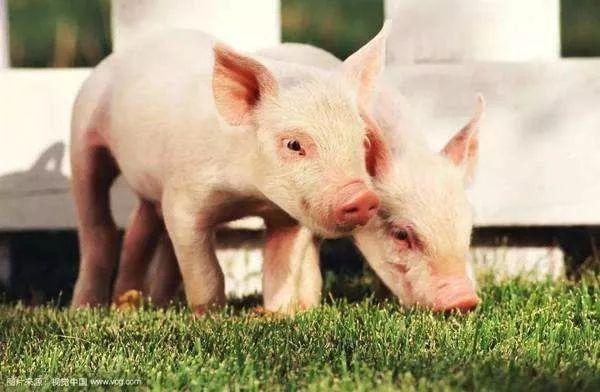巴哈马群岛上有群猪 每天在日光之下吃喝快乐