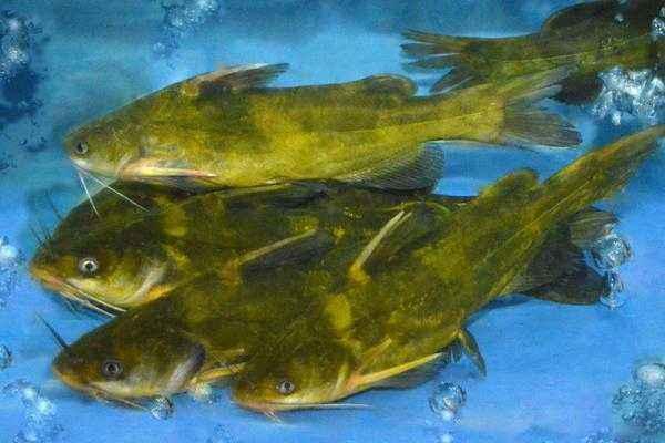 杂交黄颡鱼腹水怎么办_鱼腹水症状_鱼得大肚子病怎么治