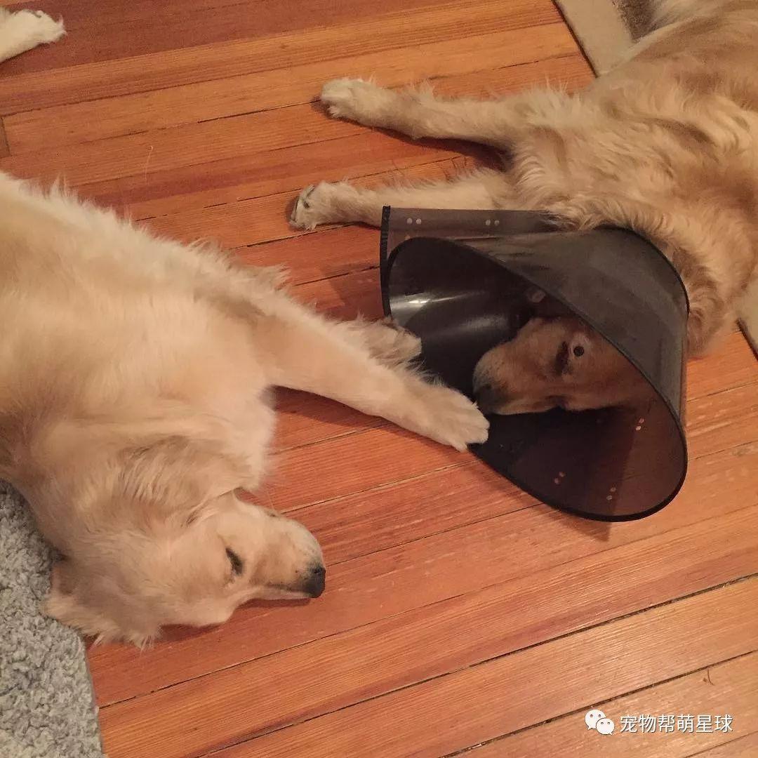 暖心!大金毛哥哥失明后,妹妹伴其左右,成为它的眼……