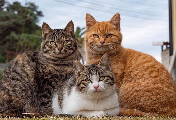 除了狸花猫和橘猫,还有哪种喵,能被称为中华田园猫的门面担当