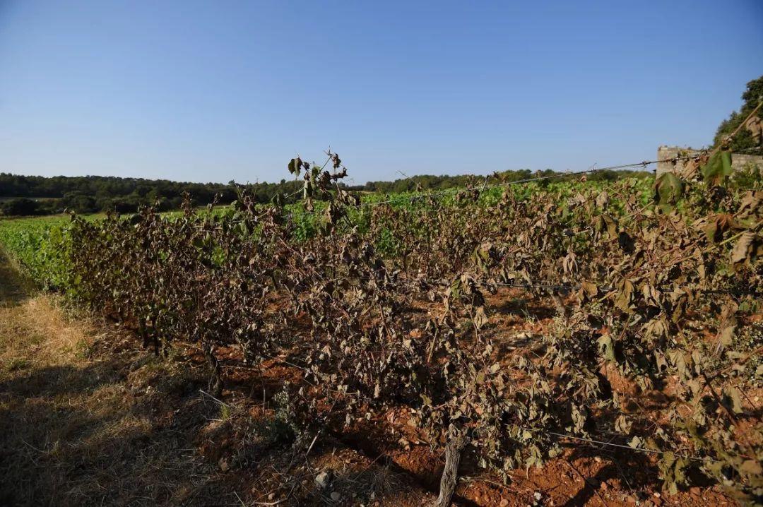 超级热浪来袭,近40%南法葡萄藤被毁!