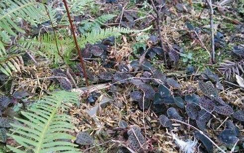 农村这个金线莲,见到它不要当成杂草,晒干后上万一斤
